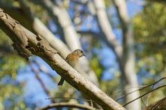Pospolity mały ptasi obsiadanie na drzewie Zdjęcia Royalty Free