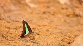Pospolity modraka motyla HD zapasu materiał filmowy zbiory