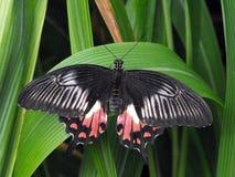 Pospolity mormonu motyl przy odpoczynkiem z otwartymi skrzydłami zdjęcia stock