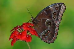 Pospolity Morpho motyl w Ameryka Środkowa zdjęcia royalty free