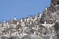 Pospolity Murres na Gniazdować wyspie Zdjęcie Stock