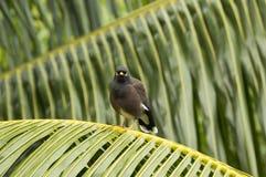 Pospolity myna ptak w Praslin wyspie, Seychelles (Acridotherestristis) Fotografia Royalty Free