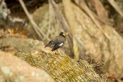 Pospolity myna ptak w Praslin wyspie, Seychelles (Acridotherestristis) Zdjęcie Royalty Free