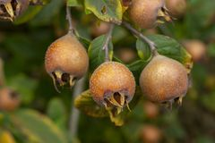 Pospolity niesplik - Mespilus germanica zdjęcia royalty free