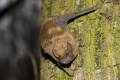 pospolity noctula noctule nyctalus Zdjęcie Royalty Free