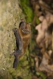 pospolity noctula noctule nyctalus Zdjęcie Stock