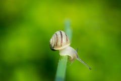 Pospolity ogrodowego ślimaczka czołganie na zielonym trzonie roślina Zdjęcie Royalty Free