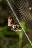 Pospolity Ogrodowego pająka łasowanie na pajęczynie obraz stock