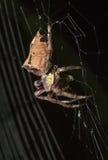 Pospolity Ogrodowego pająka łasowanie na pajęczynie obraz royalty free