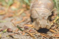 Pospolity ogrodowy ślimaczek z skorupą czołgać się nad plażowym piaskiem w wieczór, zamyka w górę selekcyjnej ostrości Fotografia Stock