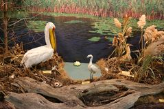 Pospolity pelikan blisko małego egret i bąka Obrazy Royalty Free