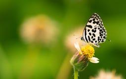 Pospolity pierrota motyl lądujący na kwiacie Fotografia Stock
