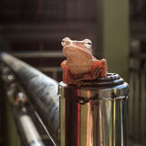 Pospolity pomarańczowy krzak żaby obsiadanie na fechtunku Obrazy Stock