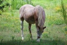 Pospolity rolny koń w polu żółci kwiaty Fotografia Stock