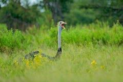 Pospolity struś, Struthio camelus, duża ptasia żywieniowa zielona trawa w sawannie z otwartym rachunkiem, Botswana, Okavango w Af fotografia royalty free