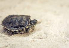 Pospolity suwak, także znać jako Cumberland suwaka żółw, Słyszący suwaka żółw, suwaka Trachemys scripta na piasku zdjęcie stock