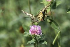pospolity swallowtail kolor żółty zdjęcia stock