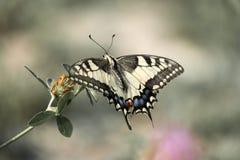 pospolity swallowtail kolor żółty fotografia royalty free