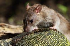 Pospolity szczur Zdjęcia Royalty Free