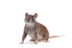 Pospolity szczur na bielu Zdjęcie Royalty Free