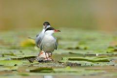 Pospolity tern Fotografia Royalty Free