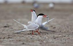 Pospolity Tern i krab Zdjęcie Stock