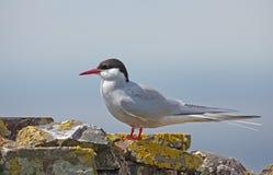 Pospolity Tern lub artic tern Fotografia Stock