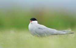 Pospolity Tern lub artic tern Obrazy Royalty Free