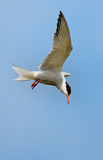 Pospolity Tern lub artic tern Obraz Royalty Free
