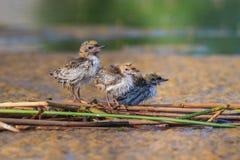 Pospolity Tern mostków hirundo Zdjęcie Stock