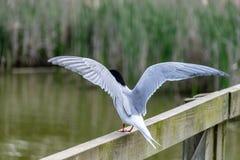 Pospolity tern mostków hirundo z szeroko rozpościerać skrzydłami fotografia royalty free