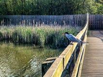 Pospolity tern mostk?w hirundo umieszcza? na ogrodzeniu nad jezioro wod? z z?apan? ryb? w belfrze fotografia stock