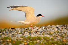 Pospolity tern, mostki hirundo, jest seabird tern rodzina Sternidae, ptak w jasnym natury siedlisku, zwierzę blisko rzeki, s Obraz Stock