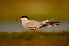 Pospolity tern, mostki hirundo, jest seabird tern rodzina Sternidae, ptak w jasnym natury siedlisku, zwierzę blisko rzeki, s Zdjęcia Royalty Free