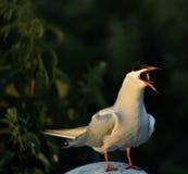 Pospolity Tern (mostku hirundo) Zdjęcie Stock