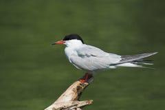 Pospolity Tern na beli Obrazy Royalty Free