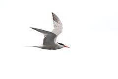Pospolity tern w locie - mostku Hirundo - Zdjęcia Stock