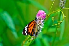 Pospolity tygrysi motyl Zdjęcie Stock