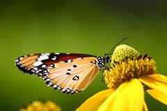 Pospolity tygrysi motyl Fotografia Royalty Free