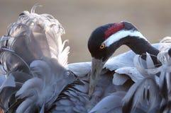 Pospolity żuraw (Grus grus) Fotografia Stock