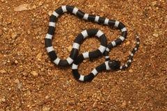 Pospolity uzda wąż, Dryocalamus nympha, Hampi, Karnataka, India zdjęcie royalty free