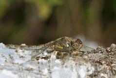 pospolity wężowy dragonfly Obraz Royalty Free