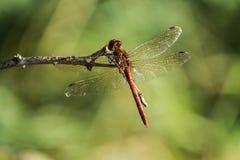 pospolity wężowy dragonfly Obrazy Royalty Free