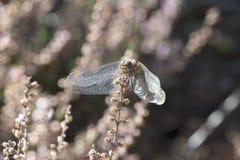 pospolity wężowy dragonfly Zdjęcia Royalty Free