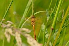 Pospolity wężowy dragonfly chuje w płosze - Sympetrum striolatum Obraz Royalty Free