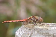 Pospolity Wężowy dragonfly na płotowej poczta Obraz Royalty Free