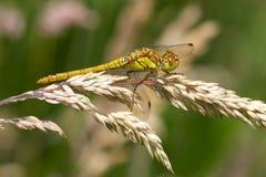 Pospolity Wężowy dragonfly na ziarno głowie Fotografia Royalty Free