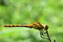 Pospolity wężowy dragonfly przy odpoczynkiem (Sympetrum striolatum) Zdjęcie Stock
