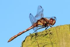 Pospolity Wężowy Dragonfly (Sympetrum striolatum) Zdjęcie Stock