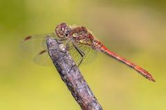 Pospolity wężowy dragonfly umieszczający na kiju Obraz Royalty Free